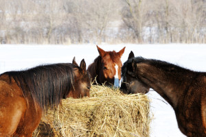 3 horses eating hay